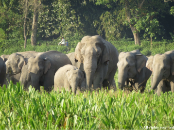 Elephants use tea plantations as resting stops and tea workers commonly come into close proximity with them.
