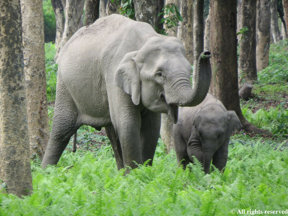 Certified Elephant Friendly Tea allows elephant populations to thrive by eliminating risks associated with traditional tea farming practices.