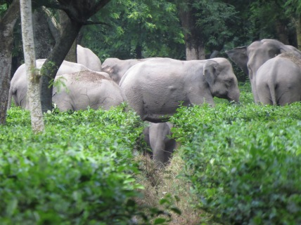 Drainage ditches can be dangerous for young elephants who are too small to crawl out.